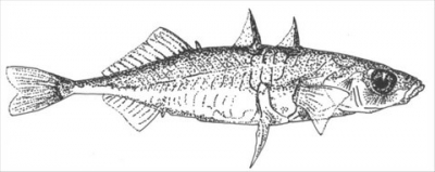 Spine Stickleback